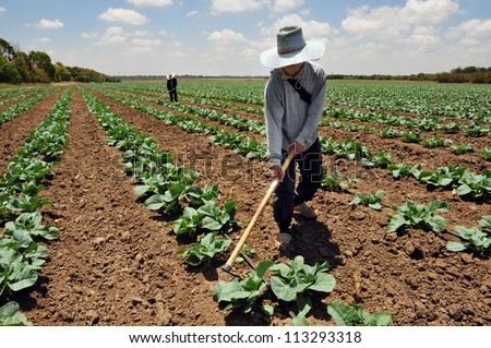 SDEROT-AUGUST 23:A foreign Thai worker works in a cabbage field on Aug 23 2005 in Sderot, Israel.There are about 300,000 workers in Israel that works mainly in agriculture, two-thirds are unauthorized