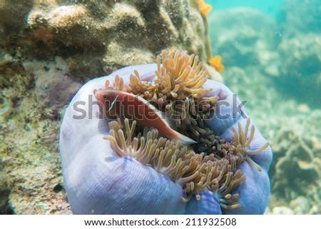 Sea anemone - stock photo