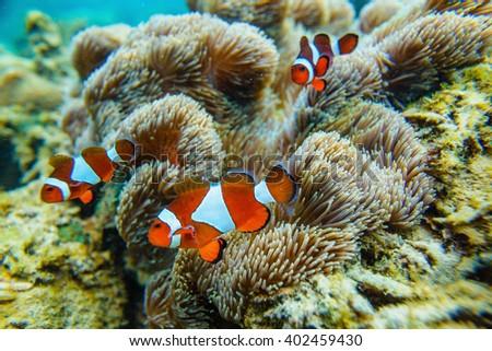 Sea anemone and clown fish - stock photo