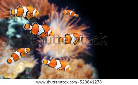 Sea anemone and clown fish in marine aquarium. On black background