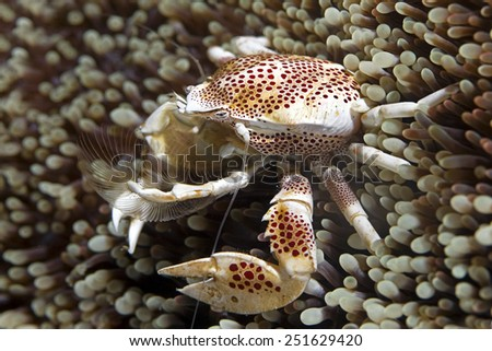 Sea anemone and Crab - stock photo