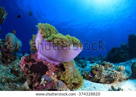 Sea anemone in the tropical coral reef of the Indian ocean - stock photo