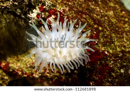 Sea anemones  in marine aquarium