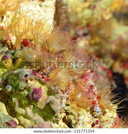 Sea anemones  in marine aquarium - stock photo