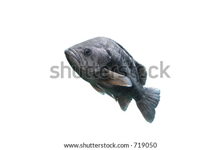 Sea Bass Against White - stock photo