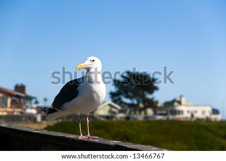 Sea Bird on California Coast - stock photo