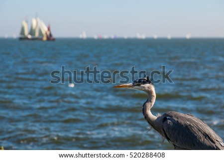 Sea bird on the bank against the backdrop of the water and the white sails, the Netherlands
