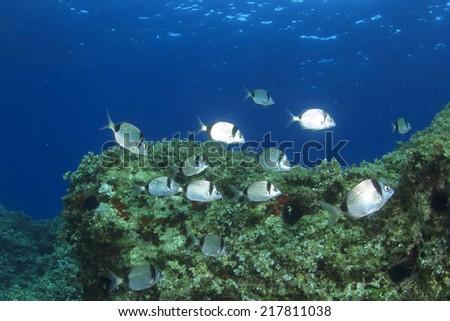 Sea Bream Fish on Mediterranean Sea reef - stock photo