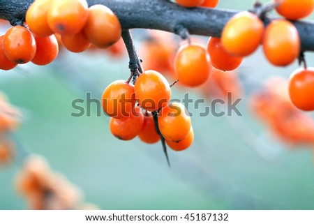 Sea-buckthorn berries in the autumn. Close-up, shallow depth of field.