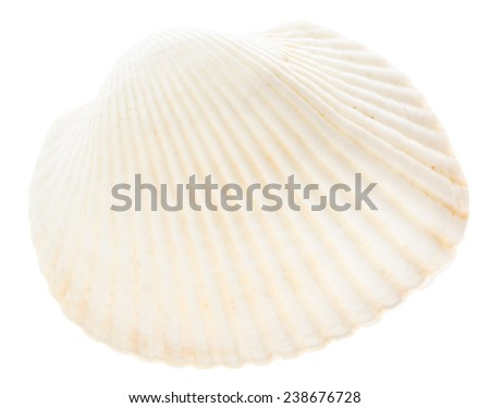 Sea cockleshell isolated on white background. White shell - stock photo