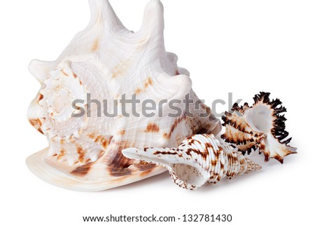 Sea cockleshell on a white background
