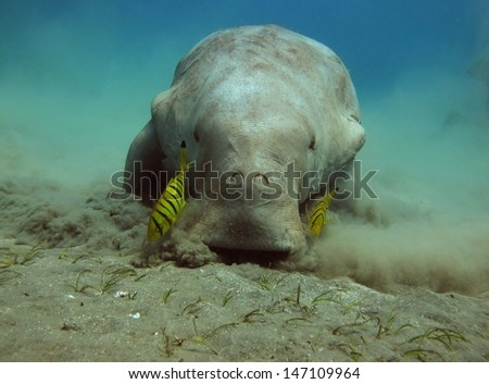 Sea cow (Dugong dugon) - stock photo