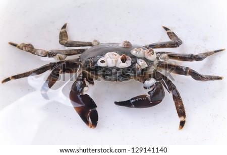 Sea crab - stock photo