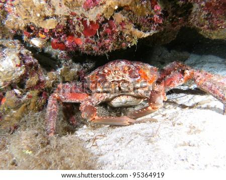 Sea Crab Underwater in the Ocean - stock photo