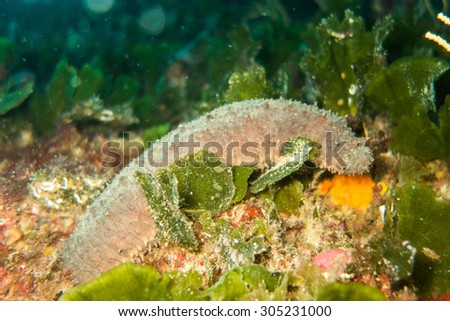 Sea cucumber - stock photo
