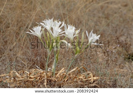 Sea daffodil - Pancratium maritimum grows on coastal sands and it is a bulbous perennial flower. - stock photo