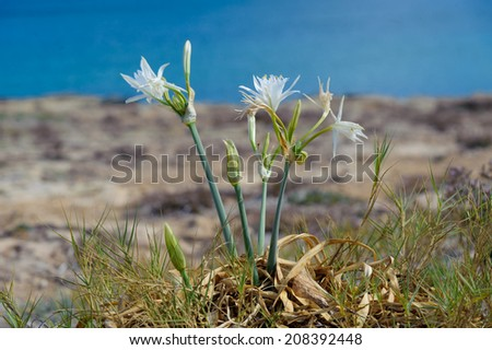 Sea daffodil - Pancratium maritimum grows on coastal sands and it is a bulbous perennial flower.