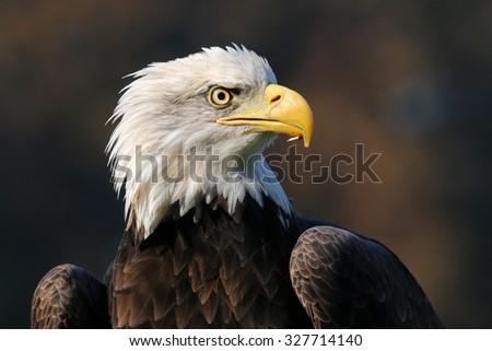 sea eagle  - stock photo