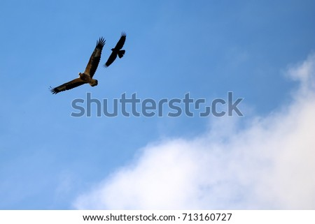 Sea-eagle and crow birds fly together in the sky.