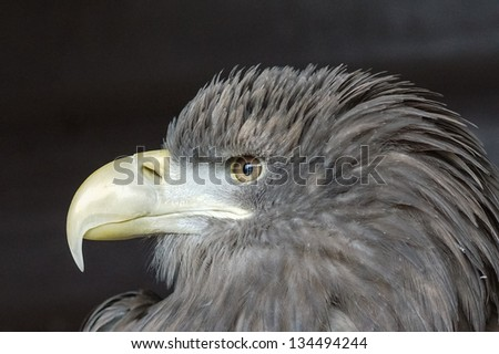 Sea Eagle Profile / Haliaeetus albicilla