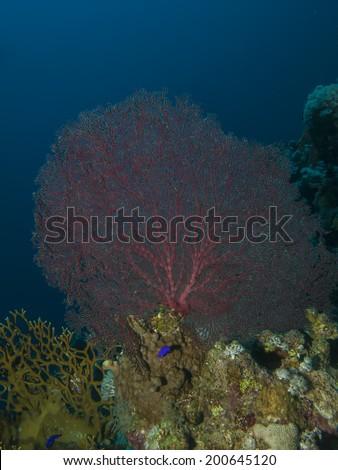 Sea Fan Coral - stock photo