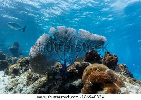 Sea fan, Gorgonia ventalina, on coral reef in Hol Chan Marine Reserve - stock photo