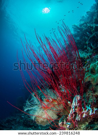 Sea Fan in Raja Ampat