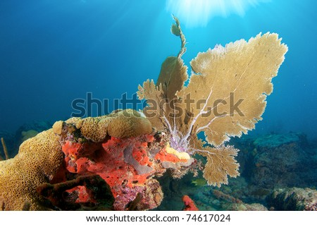 Sea Fan on a reef ledge in south east Florida - stock photo
