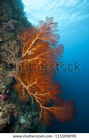 Sea fan on a wall on a tropical coral reef off the islands of Palau in Micronesia. - stock photo