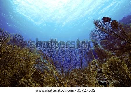 sea fans - stock photo