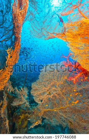 Sea fans and glassfish in the Red Sea