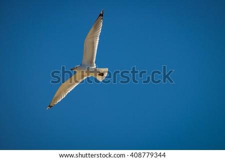 Sea gull flying in the blue sunny sky over the coast of atlantic - stock photo