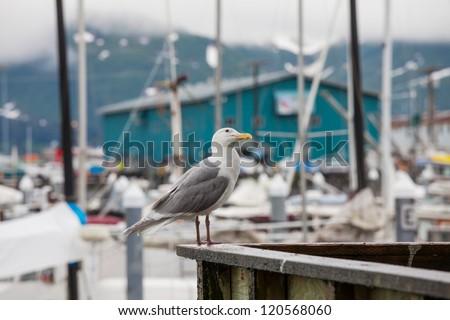 Sea gull in port,Alaska - stock photo