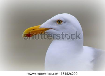 Sea Gull - Oregon Coastline - stock photo