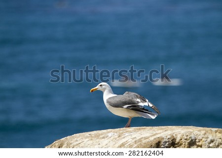 Sea Gull perched on a rocky cliff at the coast of La Jolla in San Diego California - stock photo