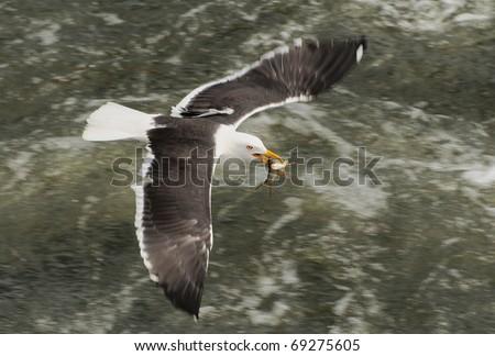 Sea gull with captured fish - stock photo