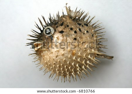 Sea hedgehog on the white background
