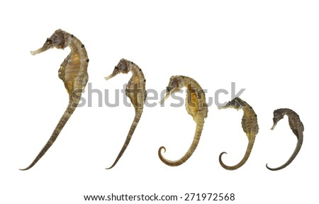 Sea Horse isolated on white - stock photo