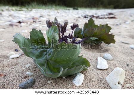 Sea kale (Crambe maritima) growing in sand at seaside.  - stock photo
