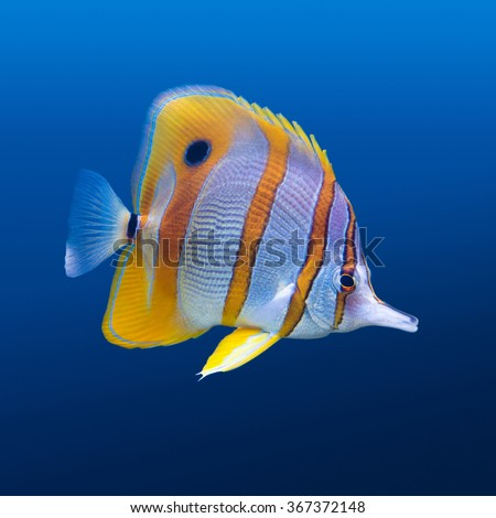 Sea life: exotic tropical coral reef copperband butterfly fish (Chelmon rostratus) on natural blue background - stock photo