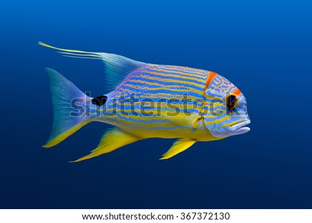 Sea life: exotic tropical coral reef  fish, sailfin snapper (Symphorichthys spilurus) on natural blue background - stock photo