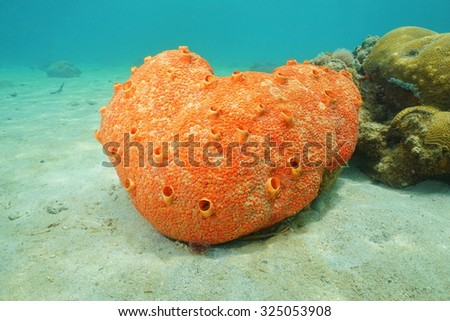 Sea life underwater, red boring sponge, Cliona delitrix, Caribbean sea - stock photo
