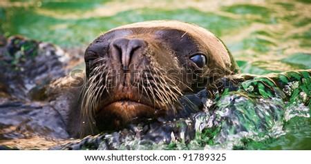sea lion - stock photo