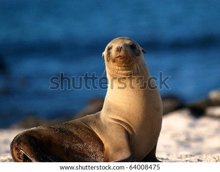 Sea Lion and Sunset - stock photo