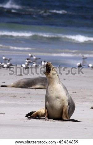 Sea Lion at Seal Bay. Kangaroo Island. Australia