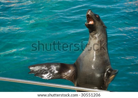 Sea lion clapping