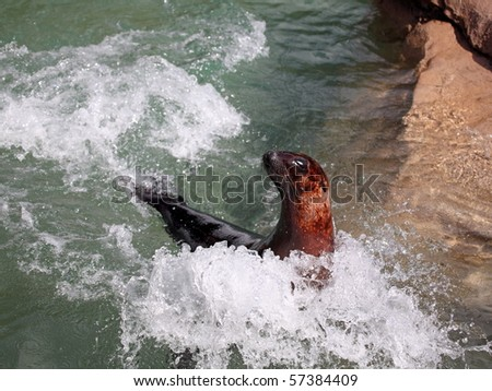 Sea Lion in motion splashing in the water