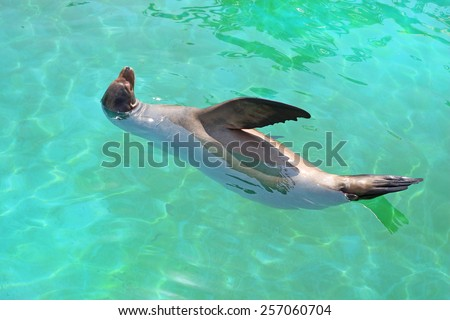 sea lion in turquoise water - stock photo