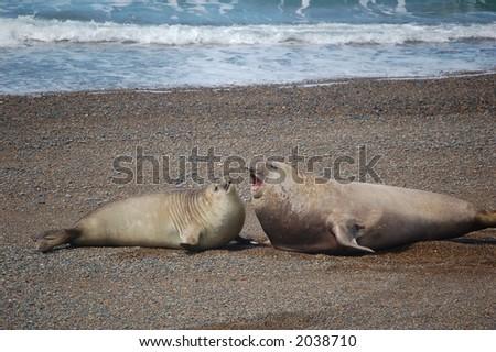 Sea-Lion Mating on patagonian Coast - stock photo