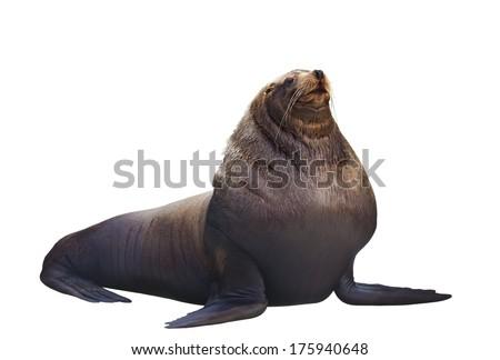 Sea lion on a white background - stock photo